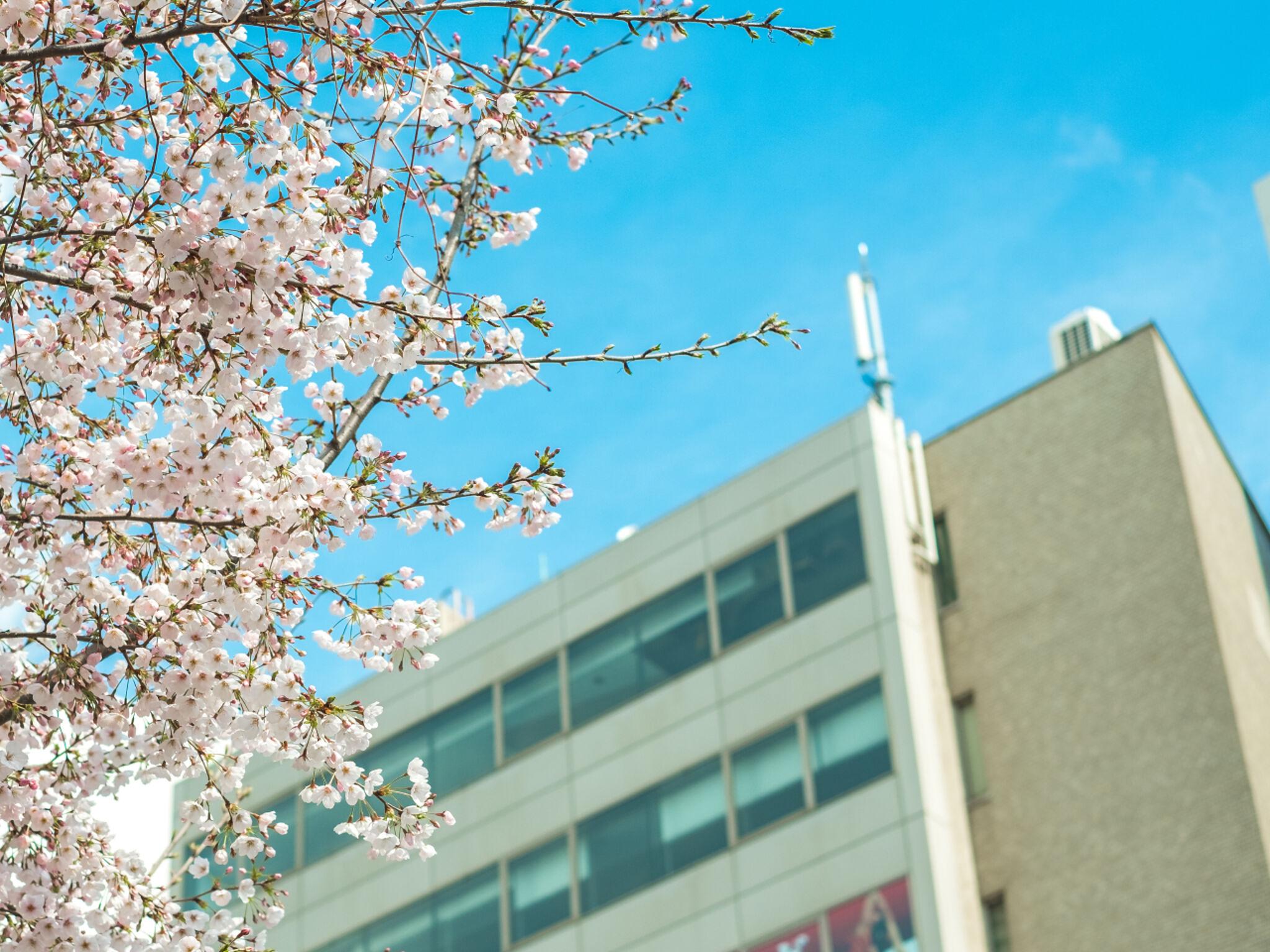 高校の校舎と桜の画像